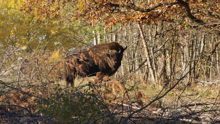 in der Wildniskernzone leben rund 90 Wisente